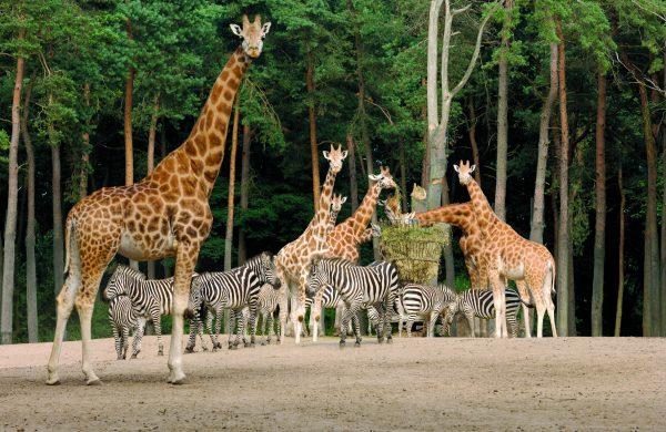 Burgers' Zoo Arnheim - Safari